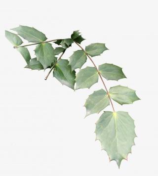 植物叶子树叶锯齿绿叶png免抠素材