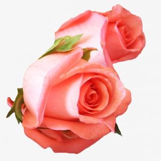 粉色玫瑰花实物免抠PNG素材