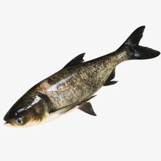 花鲢熊鱼黑鲢大头鱼胖头鱼