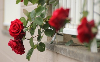 鲜艳的蔷薇花唯美高清桌面壁纸