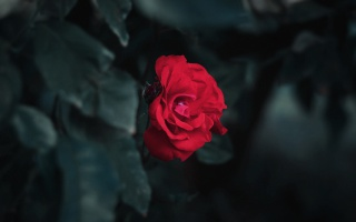 鲜艳唯美红色玫瑰花图片桌面壁纸