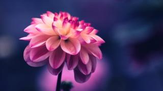 粉色花瓣花朵高清电脑壁纸