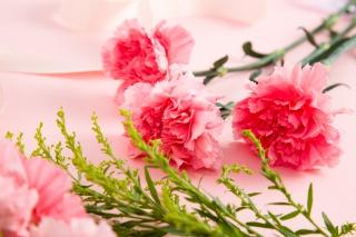 粉色鲜花康乃馨摄影图